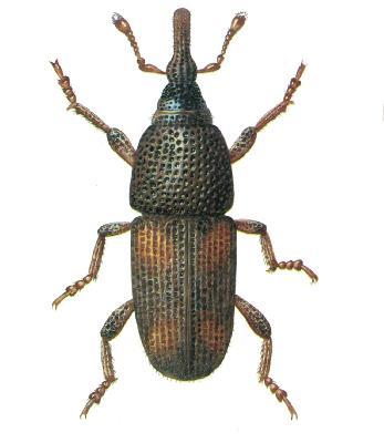 Autres insectes les exterminateurs experts de l 39 outaouais - Charancon du riz dangereux ...